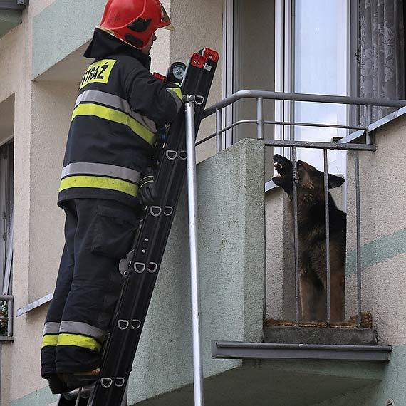 Pies tak strzegł wstępu do domu, że musieli interweniować strażacy