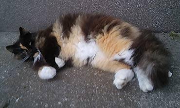 Zaginęła kotka Abi